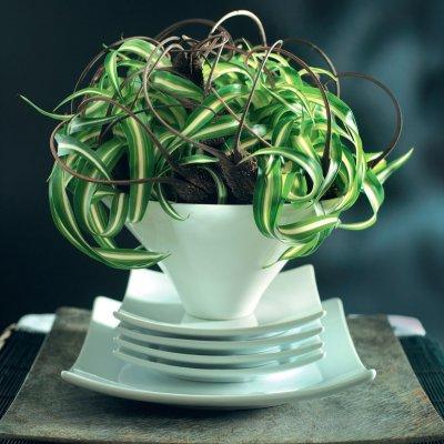 Tups-rohtliilia (Chlorophytum comosum)