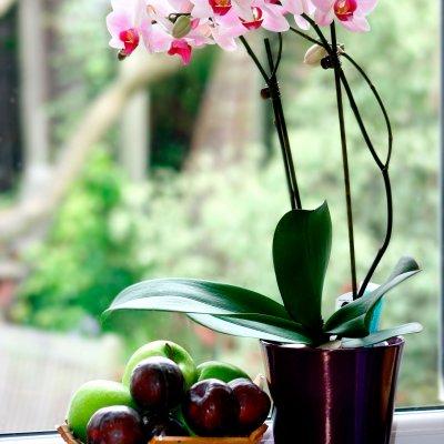kuuking, orhidee