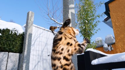 talv, tantsiv kass